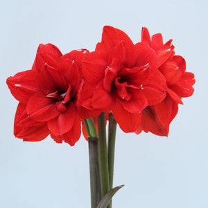 Timing is key for an Amaryllis holiday bloom!