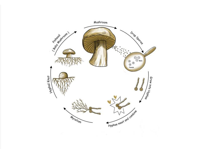 Do you know Reishi Mushroom's Life Cycle