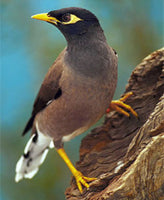 THE INDIAN MYNAH TRAP