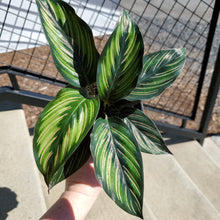 Load image into Gallery viewer, Calathea Beauty Star