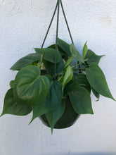 Load image into Gallery viewer, Philodendron Cordatum