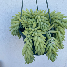 "Load image into Gallery viewer, Sedum ""Burros Tail"""