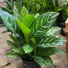 Load image into Gallery viewer, Aglaonema Stripes