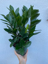 "Load image into Gallery viewer, Zamioculcas Zamifolia ""ZZ"" Plant"