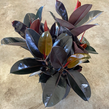 Load image into Gallery viewer, Ficus Elastica Burgundy