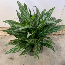 Load image into Gallery viewer, Aglaonema Super Maria