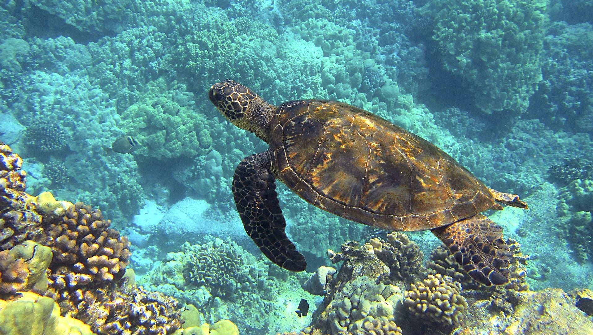 Why are sea turtles endangered reasons