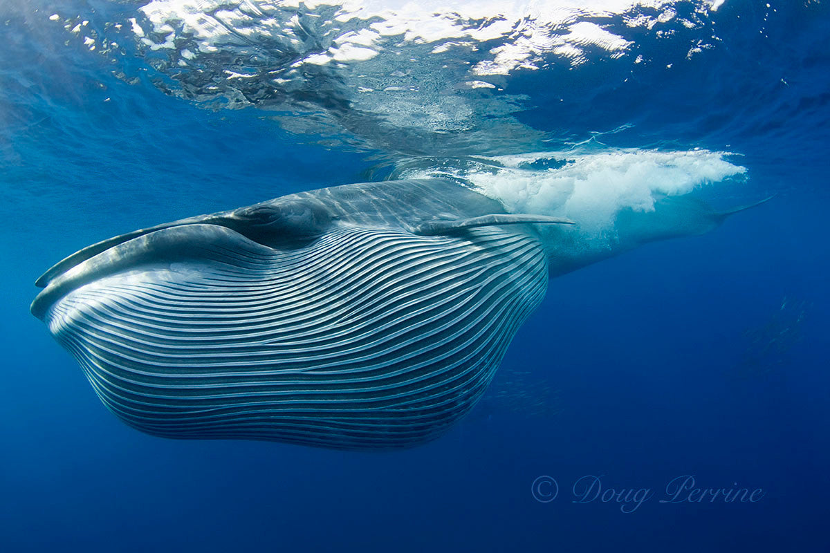 Largest whale found in the ocean