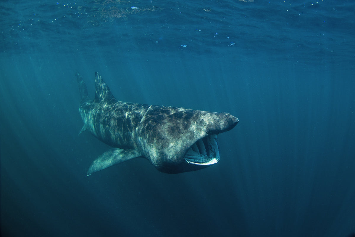 Surprising big sharks in the world