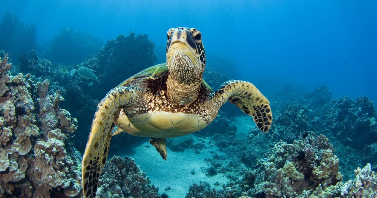 Why are sea turtles endangered explained