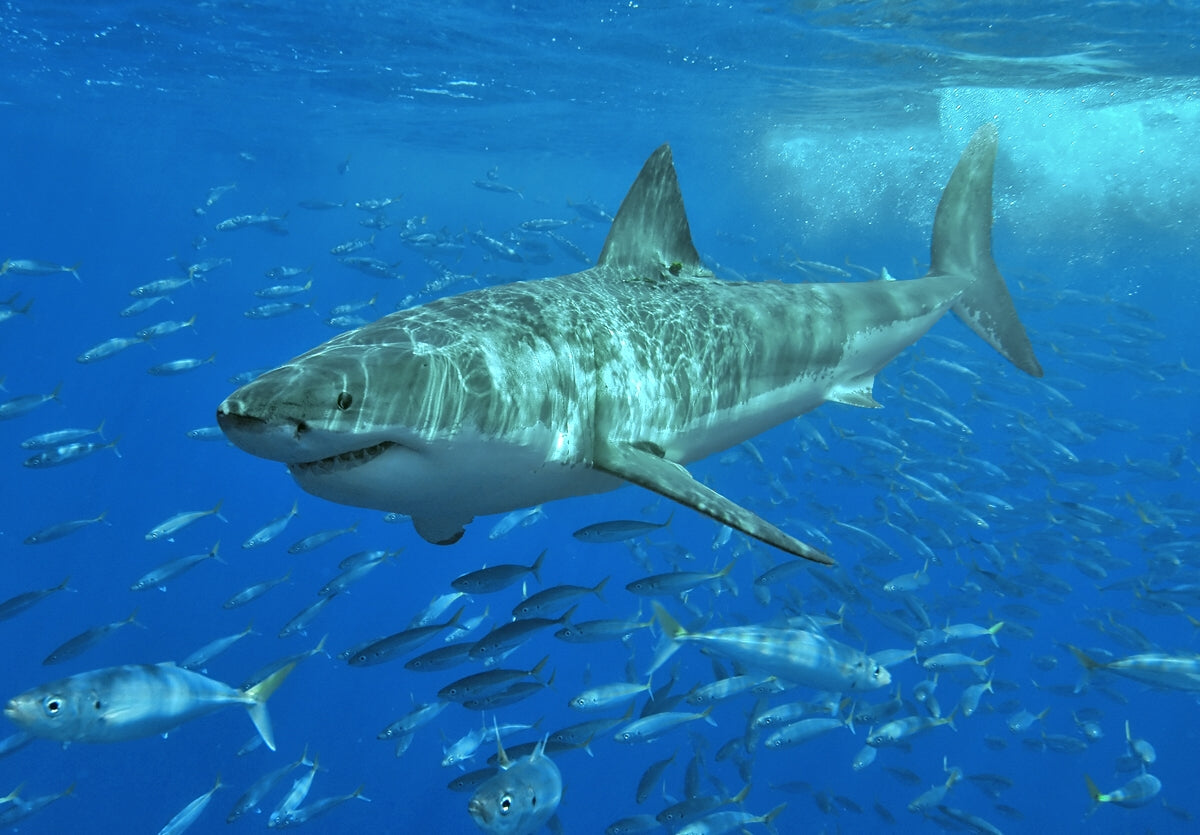 Biggest sharks found in the ocean
