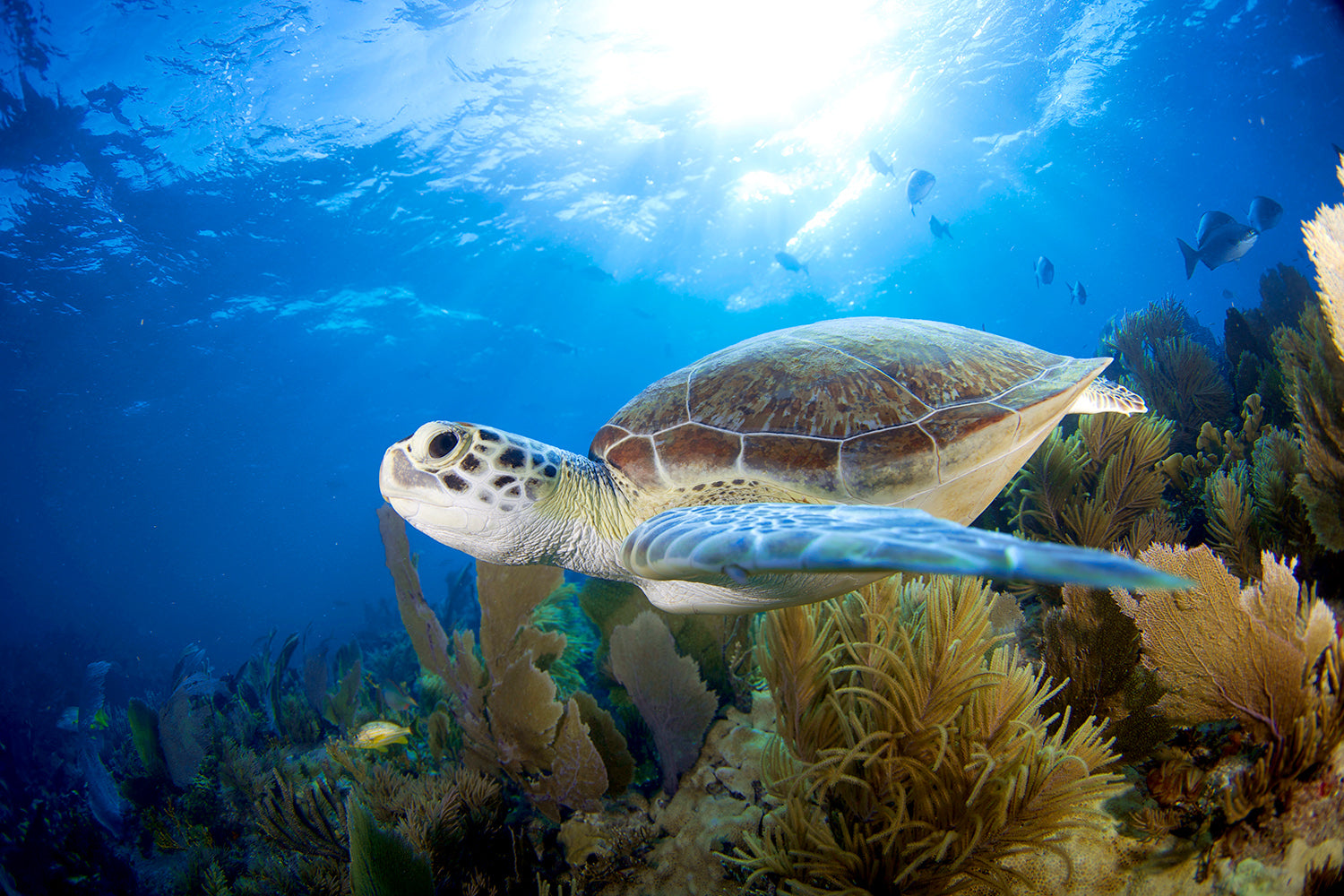 How long sea turtles can live