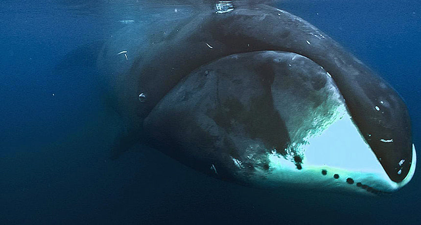 Facts on bowhead whales