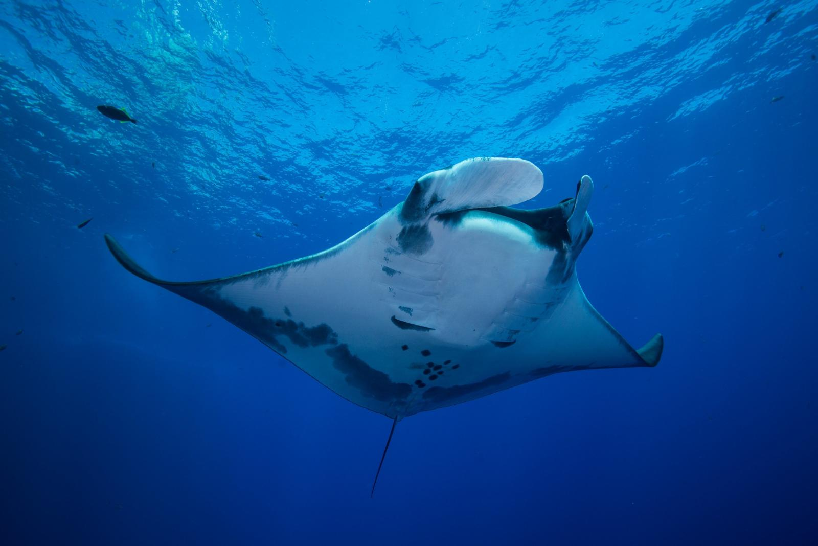 Awesome fun facts about oceanic giant manta rays