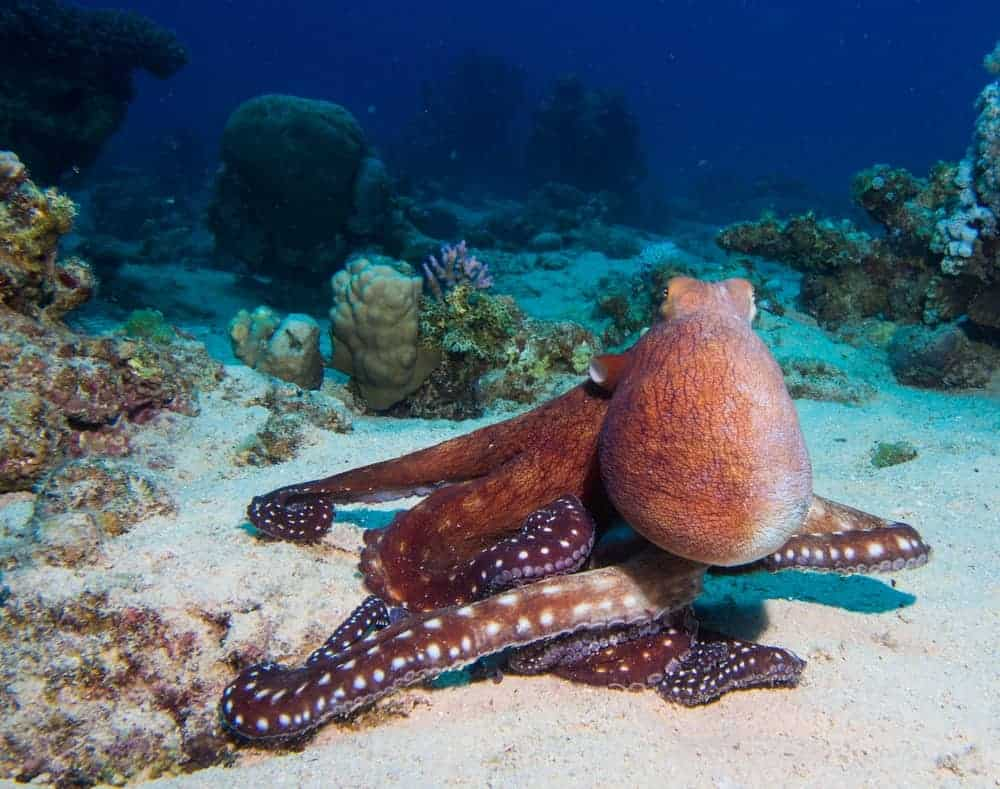 Amazing facts about Octopus