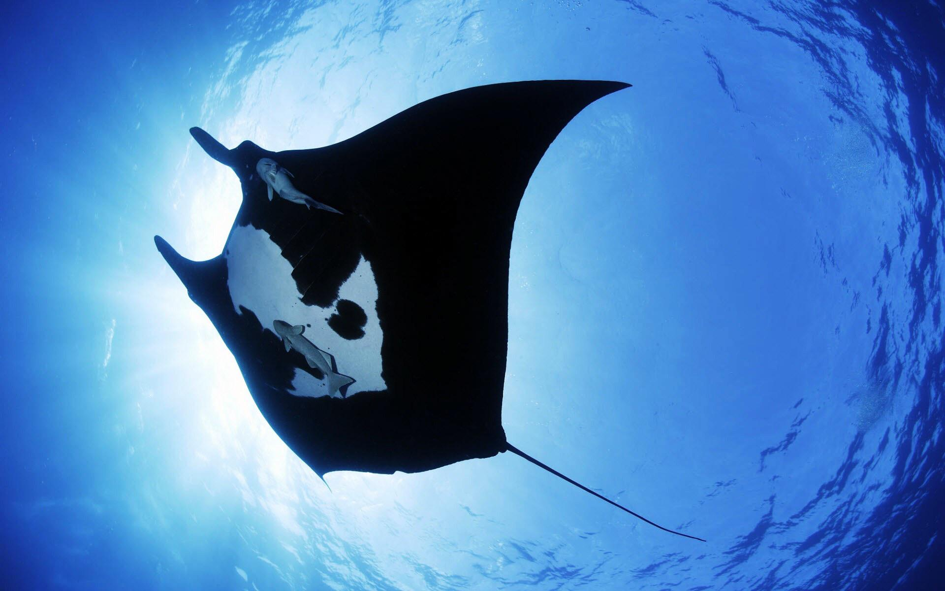 Fascinating facts about giant oceanic manta ray