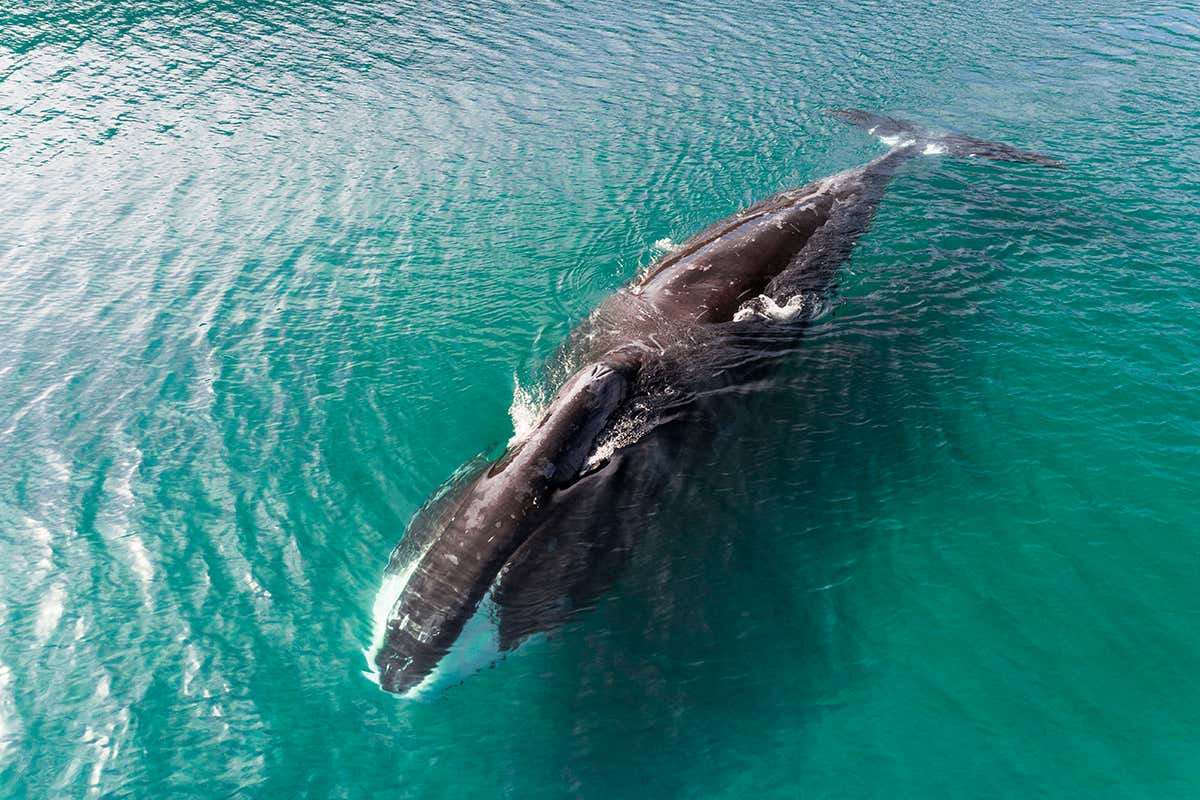 Bow head whale interesting facts