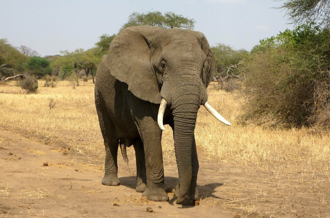 What elephant anklet means