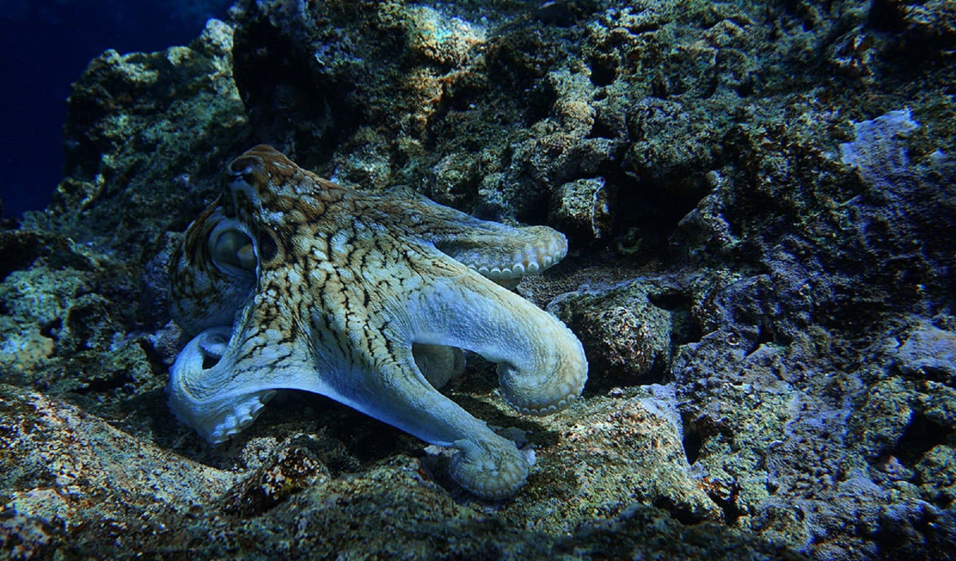 Interesting Octopus Facts