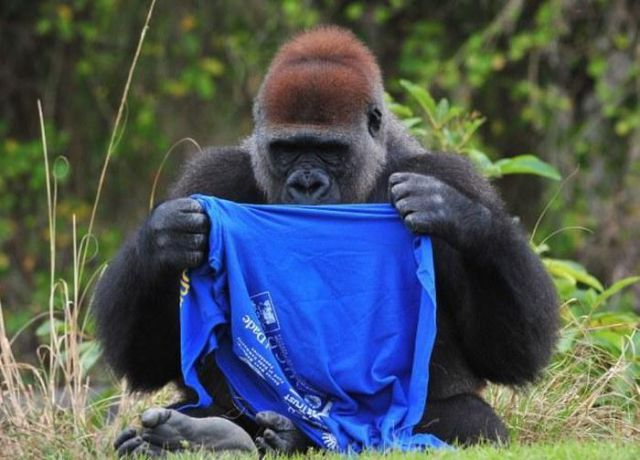 Gorilla with T-Shirt