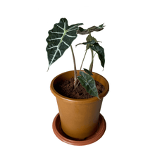 Load image into Gallery viewer, African Mask (Alocasia)