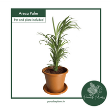 Load image into Gallery viewer, Areca Palm (Dypsis lutescens)