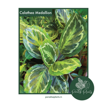Load image into Gallery viewer, Calathea Medallion (C. roseopicta)