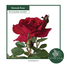 Load image into Gallery viewer, Damask Rose (Rosa × damascena)