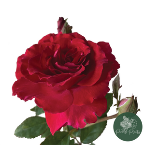 Damask Rose (Rosa × damascena)