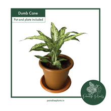 Load image into Gallery viewer, Dumb Cane (Dieffenbachia)