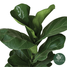 Load image into Gallery viewer, Fiddle Leaf Fig (Fycus lyrata)