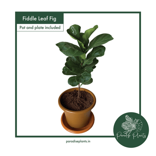 Fiddle Leaf Fig (Fycus lyrata)