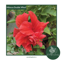 Load image into Gallery viewer, Hibiscus Double Whorl