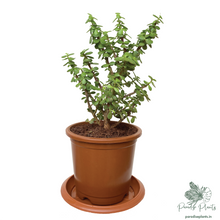 Load image into Gallery viewer, Jade (Crassula ovata)