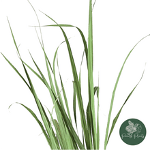 Load image into Gallery viewer, Lemongrass (Cymbopogon citratus)