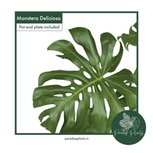 Load image into Gallery viewer, Monstera deliciosa