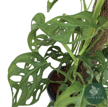 Load image into Gallery viewer, Monstera Adansonii