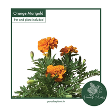 Load image into Gallery viewer, Orange Marigold (Tagetes)