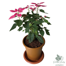 Load image into Gallery viewer, Pink Poinsettia (Euphorbia pulcherrima)