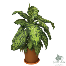 Load image into Gallery viewer, Large Reflector Dumb Cane (Dieffenbachia)