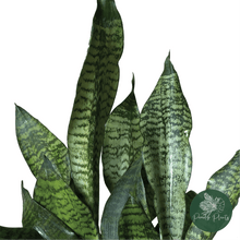 Load image into Gallery viewer, Snake Plant (Dracaena trifasciata)