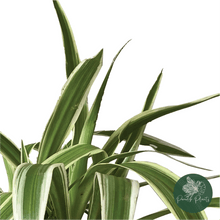 Load image into Gallery viewer, Spider Plant (Chlorophytum comosum)