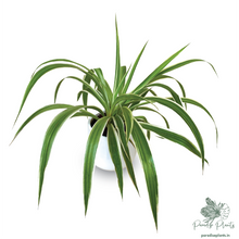 Load image into Gallery viewer, Premium Spider Plant