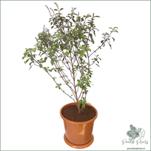 Load image into Gallery viewer, Krishna Tulsi (Holy Basil)