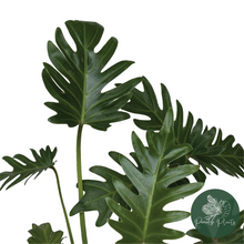Load image into Gallery viewer, Philodendron Xanadu (Large)