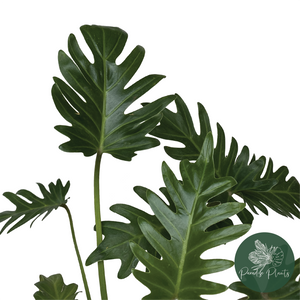 Philodendron Xanadu (Large)