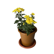 Load image into Gallery viewer, Yellow Shevanti (Chrysanthemum indica)