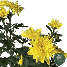 Load image into Gallery viewer, Shevanti (Chrysanthemum indica)