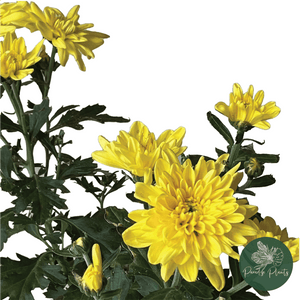 Yellow Shevanti (Chrysanthemum indica)