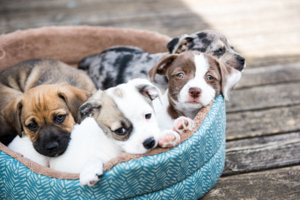 Which puppy in the litter is best? 5 tips for choosing the best dog ever to fit your life! And what to ask the breeder.